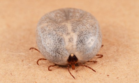 Blood-fed, engorged female lone star tick, Amblyomma americanum (Linnaeus). Photograph by Lyle Buss.